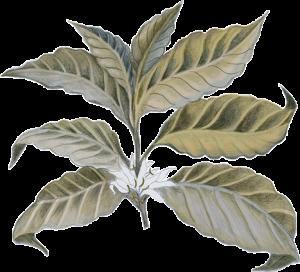 5_leaf